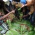 Somalia lifts ban on Kenyan miraa
